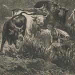 Boeufs africains récalcitrants (1)