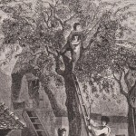 La cueillette des cerises en 1860